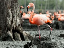 Free Flamingo &x28;Phoenicopterus Ruber&x29; At Nest. Royalty Free Stock Photo - 27059855