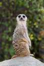 Free Meerkat Stock Photo - 27060150
