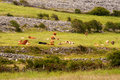 Free Cows On The Meadow Stock Photography - 27067392