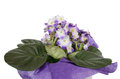 Free Violet Stock Image - 27068931