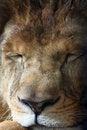Free Lion Royalty Free Stock Image - 27069386