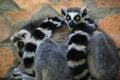 Free Ring-tailed Lemur Royalty Free Stock Image - 27069426