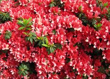 Free Red Flowers  Azalea In A Japanese Garden. Royalty Free Stock Images - 27060459