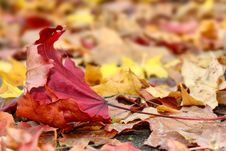 Free Red Leaf Royalty Free Stock Photography - 27069317