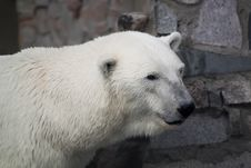 Free White Bear Stock Photography - 27069372