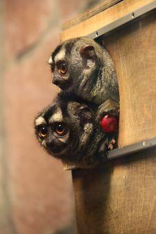 Free Ring-tailed Lemur Stock Image - 27069421