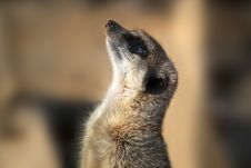 Free Meerkat Royalty Free Stock Photography - 27069497