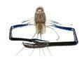 Free Giant Freshwater Prawn Royalty Free Stock Photo - 27075165