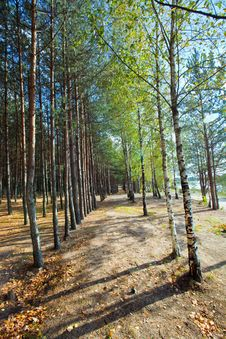 Free Birch And Pine Trees Stock Photography - 27073902