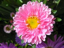 Free The Flowers Of Red Beautiful Aster Royalty Free Stock Photo - 27074155