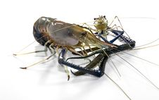 Free Giant Freshwater Prawn Royalty Free Stock Photography - 27075277