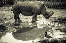 Free Rhino And Duck Stock Photos - 27079763