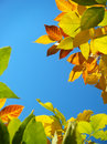 Free Autumn Leaves Royalty Free Stock Photo - 27084485