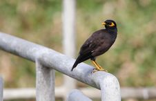 Free Common Mynah Royalty Free Stock Images - 27086059