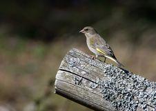Free Greenfinch, Female &x28;Carduelis Chloris&x29; Royalty Free Stock Image - 27087026
