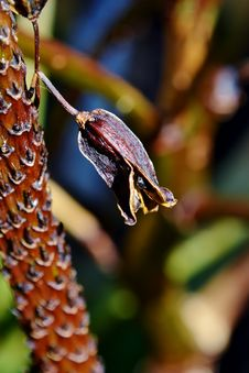 Free Dried Up Aloe Vera Blossom Royalty Free Stock Photography - 27088407
