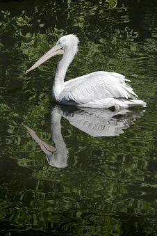 Free Swimming Pelican Royalty Free Stock Image - 27088486