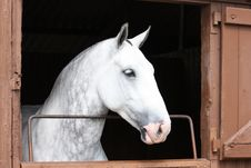 Grey Horse. Royalty Free Stock Photography