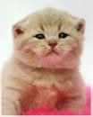 Free British Kitten Stock Photos - 27094083
