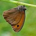 Free Brown Moth Stock Photos - 27095423