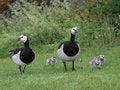 Free Wild Geese Family Stock Photo - 27096910