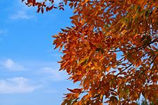 Free Red Leaves Against Blue Sky Royalty Free Stock Photography - 27095107