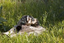 Free American Badger Royalty Free Stock Photography - 27096437