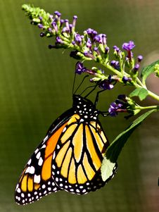 Free Monarch Butterfly On Purple Flower Stock Image - 27096621