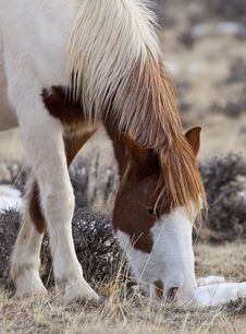 Free Wild Horses In Wyoming Royalty Free Stock Photo - 27096705