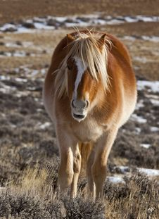 Free Wild Horse In Wyoming Winter Royalty Free Stock Photography - 27096717