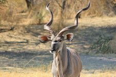 Free Kudu Bull - Close-up Of Perfection 2 Royalty Free Stock Images - 27099719