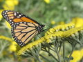 Free Monarch 2 (Danaus Plexippus) Stock Photography - 2711082