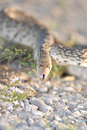 Free Gopher Snake Royalty Free Stock Photography - 2711277