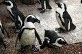 Free Penguins Stock Image - 2713621