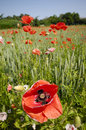 Free Red Poppy Stock Images - 2713684