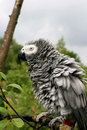 Free African Grey Parrot Royalty Free Stock Photos - 2714748