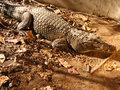 Free Dangerous Crocodile Royalty Free Stock Images - 2716339