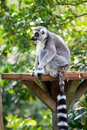Free Ring Tailed Lemur Stock Images - 2718974