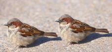 Free Sparrow Stock Photos - 2710303