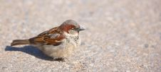 Free Sparrow Stock Images - 2710344