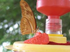 Julia Butterfly On Feeder Stock Images