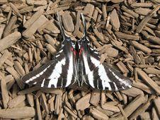 Free Zebra Swallowtail Stock Photography - 2711092