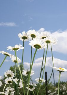 Camomiles Stock Photography
