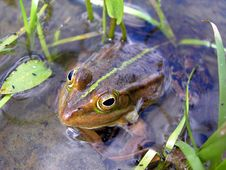 Free Frog In The Brook Stock Image - 2711781