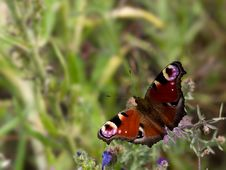 Free Peacock Butterfly Royalty Free Stock Image - 2712476