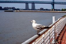 Free Seagull On A Railing Royalty Free Stock Images - 2713699