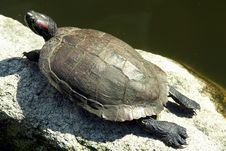 Turtle Sunbathing Royalty Free Stock Photos