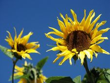 Free Sunflowers Stock Photography - 2714142