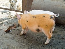 Free The Pigs Stock Images - 2714354