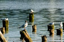 Free Terns Royalty Free Stock Photos - 2715748